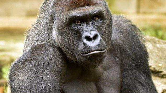 Onun rakibiyle devam edelim: Sıradan bir goril.