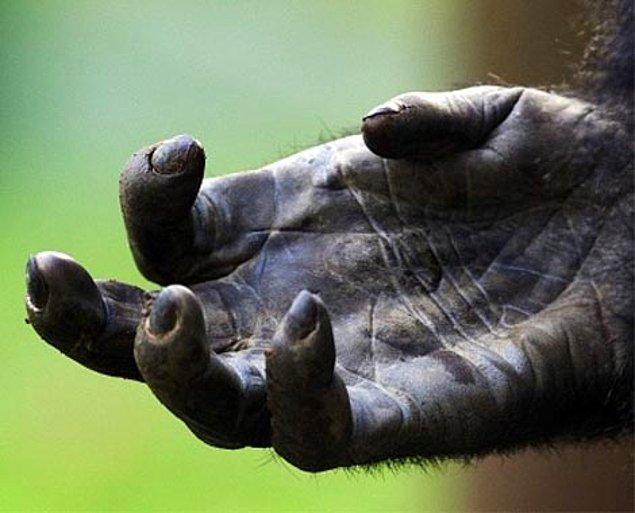Ayrıca gorilin parmak uçları tek hamlede insan dokusunu yarabilecek kadar sert ve keskin.