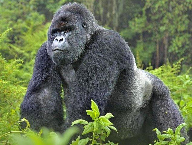 Eh, pek şüpheye mahal kalmayacak şekilde, sıradan goril.