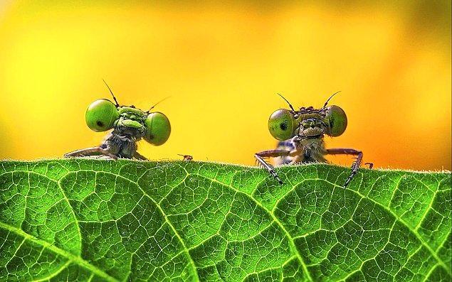 3. Çin'in Zejiang bölgesinden iki yusufçuk.