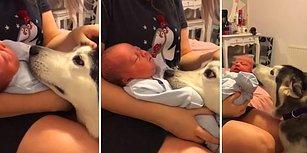 Ailenin Yeni Üyesinden Gözlerini Bir An Olsun Ayıramayan Köpek