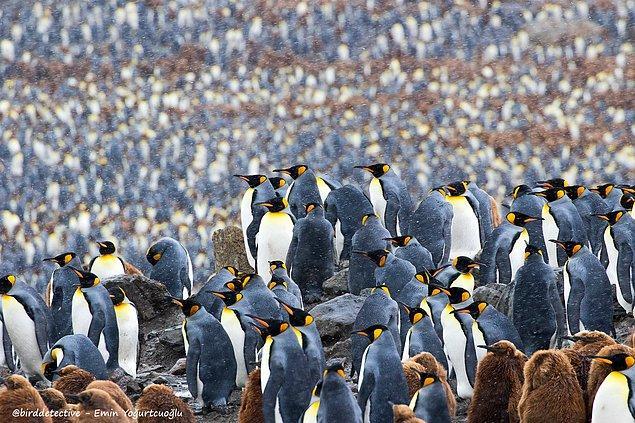 Kral penguen kolonisi, South Georgia adası