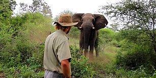 Vahşi File Geri Vites Yaptıran Cesur Safari Rehberi