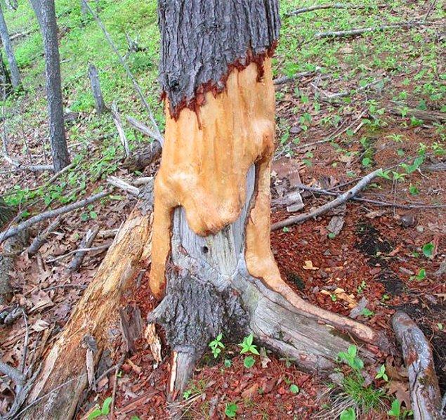 24. Bu ağacı kemiren sincaplar yıllar içinde ona sanki eriyip gidiyor görüntüsü vermiş.