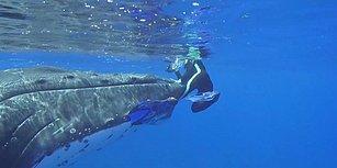 Bir Balina Su Altında İnceleme Yapan Biyoloğu Yaklaşan Köpek Balığından Korudu