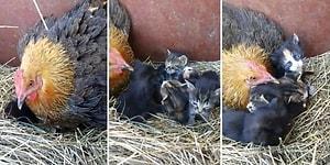 Öksüz Yavru Kedilere Annelik Yapan Koca Yürekli Tavuk