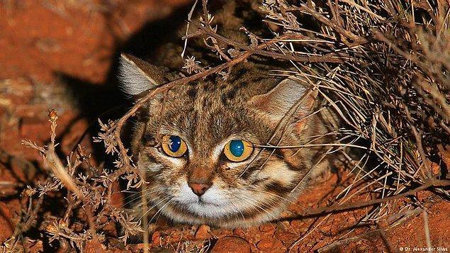 Kendisi Afrika'nın en küçük ama en ölümcül kedisi. 😎