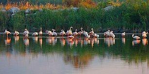 Flamingolar Dahil 100 Bini Aşkın Kuşa Ev Sahipliği Yapıyor: Gediz Deltası Otoban Tehdidiyle Karşı Karşıya