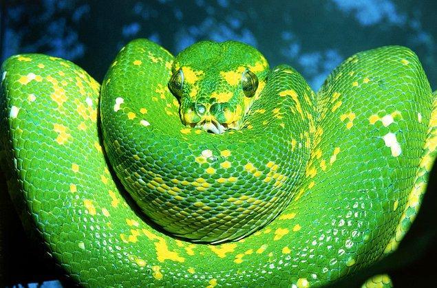 Hatta bir araştırmaya göre Amerika halkının neredeyse yarısının en büyük korkusu yılanlar.