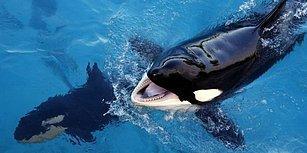 Dünyanın Konuşabilen İlk Katil Balinası: Wikie