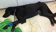 İnsanlığımızdan Utanır Hale Geldik: İstanbul'da Makatından Silikon Sıkılan Köpek Coffee Hayatını Kaybetti
