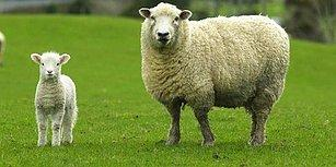 7 Soruda Son Günlerin En Merak Edilen Konusu '300 Koyun Projesi'