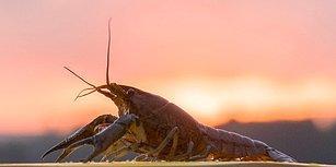Ekosistem Tehlike Altında! Erkeği Olmadan Üreyebilen Mutant Kerevit Dünyayı İstila Ediyor