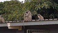 Tedavi Sürecinden Sonra Ailesi Tarafından Askerden Gelmişcesine Karşılanan Maymun