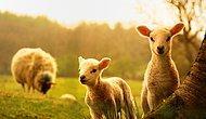 Gerekli Şartlar Belli Oldu: '300 Koyun Projesi'nde Başvurular Başladı