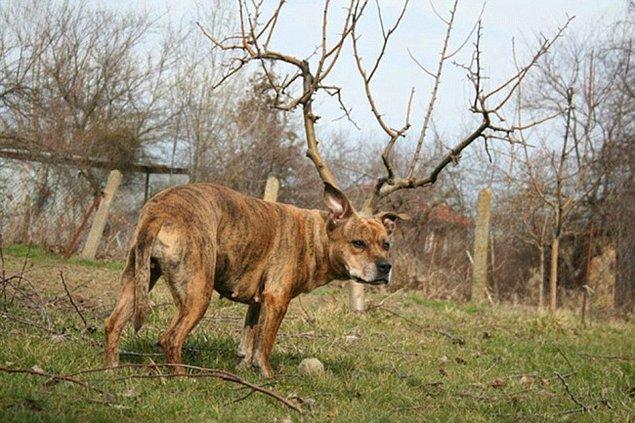 4. Bu gördüğünüz Sevgili Dostlarım, çok nadir görülen bir köpek geyiğidir.