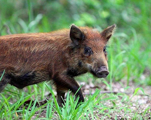 18. Avustralya'da bir yaban domuzu, bir kamptan çaldığı 18 bira ile sarhoş oldu ve bir inekle kavga etmeye çalıştı.