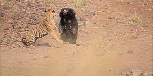 Vahşi Doğa Bildiğiniz Gibi: Ayı ve Kaplanın Nefes Kesen Kavgası