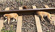 Hayvanların Cehennemi İnsan... Aydın'da Raylara Bağlanan Üç Köpekten Biri Öldü