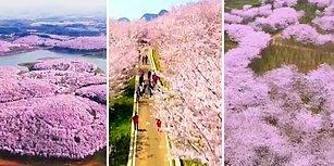 Çin'de İlkbahar ile Birlikte Çiçek Açan Ağaçların Muazzam Görüntüsü