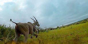 Çitanın Üzerine Yerleştirilen Kamera ile Dünyanın En Hızlı Kara Hayvanının Avlanma Görüntüleri