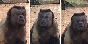 İnanılmaz Derecede İnsana Benzeyen Suratıyla Şaşkınlık Yaratan Maymun