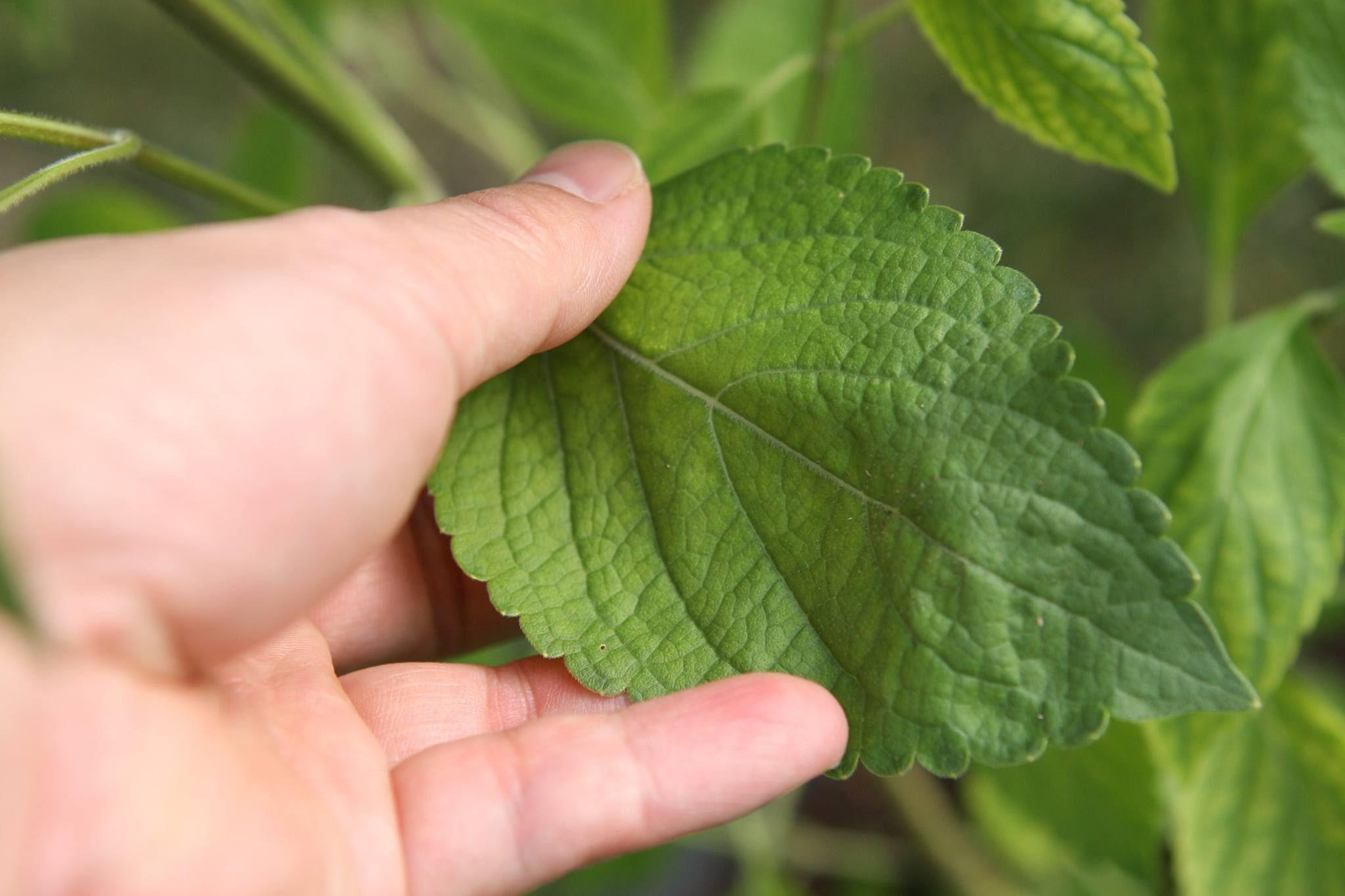Şeker Hastalığına İyi Gelen Bitkiler