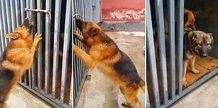 Dişisini Kilitli Demir Kapının Ardından Kurtarıp Sevgisini Ulu Orta Gösteren Azgın Köpek
