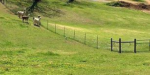 Çiftlikteki Lama Sürüsünü Peşine Takıp Oyun Oynayan Köpek