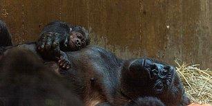 Yeni Doğum Yapan Gorilin Yavrusuna Anne Şefkati Gösterdiği Muhteşem Anlar