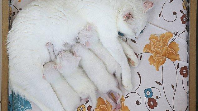 Van kedisi nesli tehlikede hayvanlar listesine dahil edilmişti ancak son yıllarda sayılarında düzenli bir artış gözleniyor.