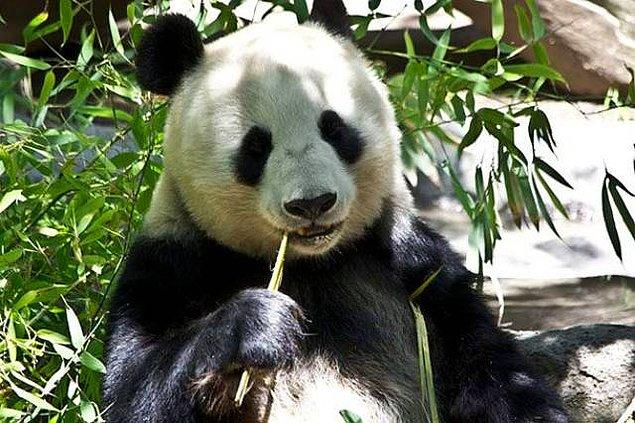 8. Pandalar bambu yemeyi sever bunu hepimiz biliyoruz...