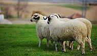 Bir Vahim İddia: 'Koyun Teşvikinden Onay Alan 15 Kişiden 14'ü, Vekil Olmak İçin İstifa Eden SGK Müdürü'nün Yakını'