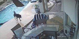Sudan Çıkmakta Zorlanan Dostu İçin Havuza Atlayan Kahraman Köpek