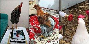 Kanatları Olmasına Rağmen Uçamamaları Yetmiyormuş Gibi Bir de Mizahımıza Alet Olmuş 15 Horoz ve Tavuk
