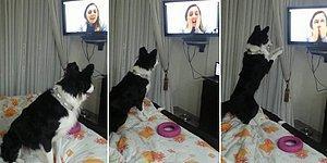 9 Aydır Göremediği İnsan Dostunu Televizyonda Görünce Sevinçten Ne Yapacağını Şaşıran Köpek