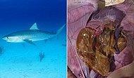 Doğayı Katletmeye Devam Ediyoruz: Köpek Balığının Midesinden Çıkanlar Karşısında Şok Olacaksınız!