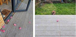 Komşularının Verandasına Düzenli Olarak Çiçek Bırakan Sevimli Kedi