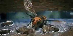 Arkadaşlarını Katleden Eşek Arısından İntikam Alan Arılar