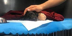 Sakarya'da Bacakları ve Kuyruğu Kesilip Ormana Atılan Yavru Köpek Hayatını Kaybetti