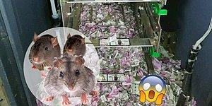 Bankamatikteki 1200000 Rupi (82000 TL) Kağıt Parayı Paramparça Eden Yaramaz Fareler