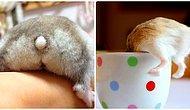 Tatlılık ve Güzellikleriyle Keyfinizi Yerine Getirecek 24 Hamster Poposu