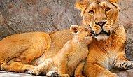 Hangi Hayvanın Ebeveynlik İçgüdülerine Sahipsin?