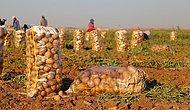 GMO'dan Suriye'den İthal Patates Açıklaması: 'Kimyasal Kalıntı Hakkında Ciddi Tereddütlerimiz Var'