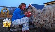 Sahipleri Onu Terk Edip Gittiği İçin Devasa Yünüyle Yaşamak Zorunda Kalan Koyun: Teddy