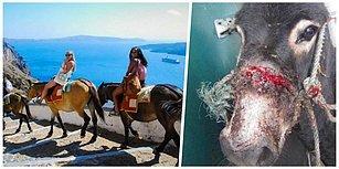 Santorini Merdivenlerinde Can Pazarı: Tatilcilerin Eğlencesi İçin Eşekler Sakat Kalıyor!