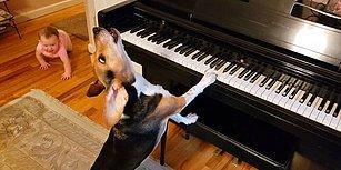 Piyano Resitali Veren Bir Köpek ve Ona Eşlik Etmek İçin Emekleyerek Yanına Gelen Bebeğin Muhteşem Anları