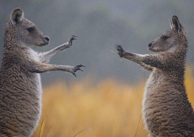 16. Kavga eden kangurular, Avustralya