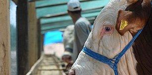 Bir Yılda Yurt Dışından 896 Bin Sığır, 280 Bin Koyun Aldık: 'İthal Etmezsek Kurbanlık Bulamayacağız'