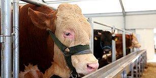 Şarbon Skandalı Sonrası Gündemdeki Soru: Hayvan İthalatında Denetimler Ne Kadar Etkin Yapılıyor?